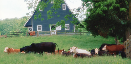 Cows grazing in field with blue barn in background
